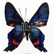 Бабочки Морфо - Morpho. фото
